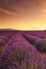 Preview iPhone wallpaper Lavender field, sunset, sun rays