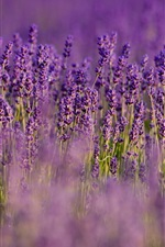 Preview iPhone wallpaper Lavender, purple flowers, field, blurry