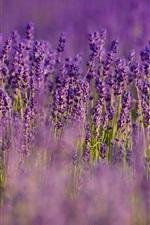 Lavender, purple flowers, field, blurry