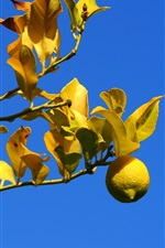 Preview iPhone wallpaper Lemon, tree, twigs, yellow, leaves