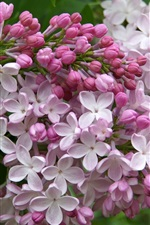 Lilac flowers bloom, spring