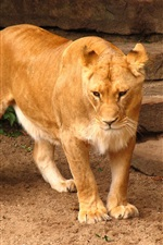 Preview iPhone wallpaper Lion, big cat, ladder