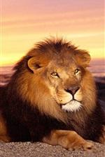 Leão, por do sol