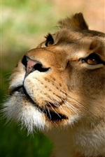 Preview iPhone wallpaper Lioness look up, face, eyes