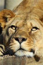 Preview iPhone wallpaper Lioness, predator, big cat, animals close-up