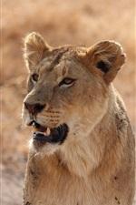 Preview iPhone wallpaper Lioness, predator, look