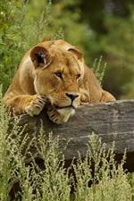 Preview iPhone wallpaper Lioness rest, rocks, grass
