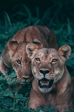 Preview iPhone wallpaper Lionesses, predators, bushes