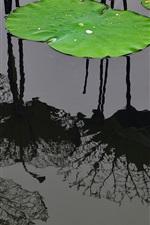 Preview iPhone wallpaper Lotus leaf, water, pond