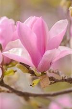 iPhone壁紙のプレビュー マグノリアマクロ写真、ピンクの花びら、春
