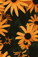 iPhone fondos de pantalla Muchos coneflowers anaranjados