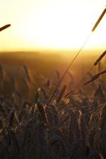 Morning, grass, sunrise