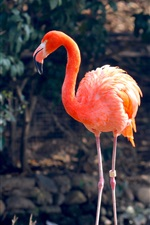 Preview iPhone wallpaper One flamingo, red feathers