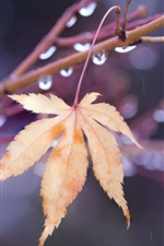 Preview iPhone wallpaper One maple leaf, twigs, water drops, autumn