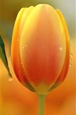 Vorschau des iPhone Hintergrundbilder Eine orange Tulpe Blume, Tau