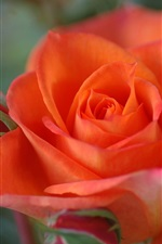 Preview iPhone wallpaper Orange colour rose close-up