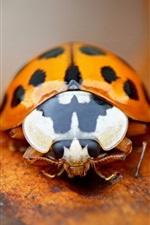 Preview iPhone wallpaper Orange ladybug, insect photography