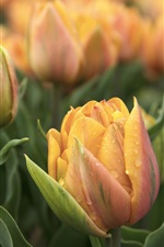 Orange tulips, water drops