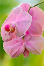Preview iPhone wallpaper Phalaenopsis pink flowers, orchid, bokeh