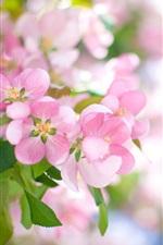 Pink apple flowers bloom, spring