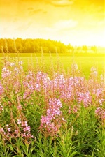 Preview iPhone wallpaper Pink flowers, grass, sunrise, sunshine