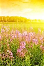 iPhone обои Розовые цветы, трава, восход солнца, солнечный свет