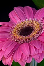 Preview iPhone wallpaper Pink gerbera, petals, black background