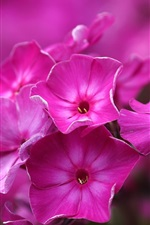 Preview iPhone wallpaper Pink phlox flowers, macro photography
