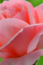 Preview iPhone wallpaper Pink rose and bud, green background