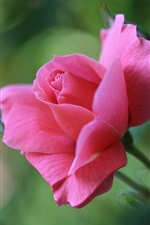 Preview iPhone wallpaper Pink rose bud, blurry background