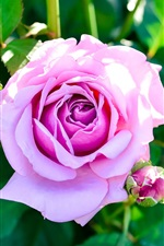 Preview iPhone wallpaper Pink rose, bud, green leaves, garden flowers