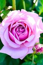Pink rose, bud, green leaves, garden flowers
