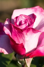 Preview iPhone wallpaper Pink rose close-up, sunshine