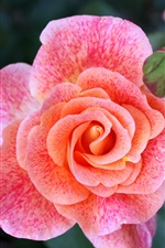 Preview iPhone wallpaper Pink rose flowers petals macro photography
