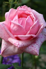 Preview iPhone wallpaper Pink rose, spots