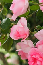 Preview iPhone wallpaper Pink roses blooming, spring