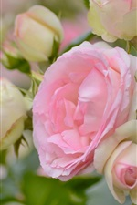 Preview iPhone wallpaper Pink roses, flowers, garden