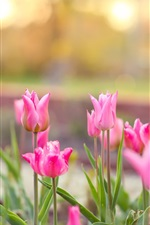 Preview iPhone wallpaper Pink tulips flowering, sunshine