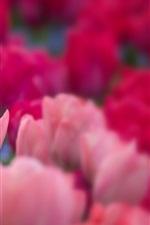 iPhone обои Розовые тюльпаны, сад, прозрачный и размытый