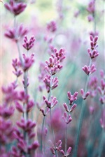 Preview iPhone wallpaper Purple lavender flowers, blurry background