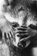 Preview iPhone wallpaper Raccoon, monochrome picture