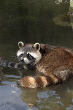 Preview iPhone wallpaper Raccoons bathing in pond