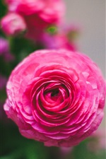 Preview iPhone wallpaper Ranunculus, red flowers, petals