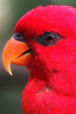 Preview iPhone wallpaper Red feather parrot, head, eyes, beak