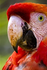 Red feathers macaw, parrot
