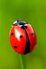 Red ladybug, grass, green background