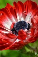 Anêmona de pétalas vermelhas