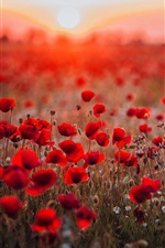 Preview iPhone wallpaper Red poppies field, sunset, glare