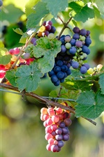 Preview iPhone wallpaper Ripe grapes, vine branches, berries, blue, purple, red