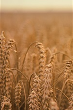 Preview iPhone wallpaper Ripe wheat, field